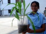 A Grade 8 student and her corn plant