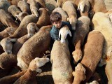 A child plays with sheep at a sacrificial livestock market ahead of the Muslim festival Eidul Azha in Lahore. PHOTO: AFP