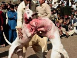 An intense dog fight can easily carry on for an hour. At the end of this dreadful sporting event, you'll see dogs with ghastly injuries: ears torn apart, windpipes ruptured, eyes gouged out and tongues bitten off. PHOTO: AFP