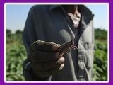 A farmer holds a locust in a field. PHOTO: GETTY