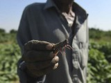 A farmer holds a locust at a feild in the Pakistan's port city of Karachi. PHOTO: AFP
